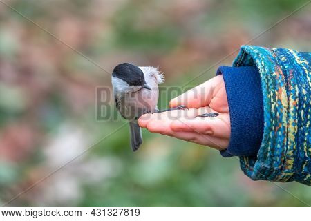 The Willow Tit Eats Seeds From A Palm Of Little Boy. A Willow Tit Bird Sitting On The Hand And Eatin