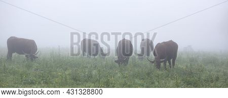 Long Horned Cows In Summer Meadow On Foggy Morning In Regional Park Boucles De La Seine Between Roue