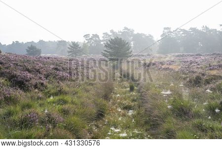 Ditch With Spider Webs Between Patches Of Colorful Heather In Dutch Province Of Utrecht On Foggy Sum