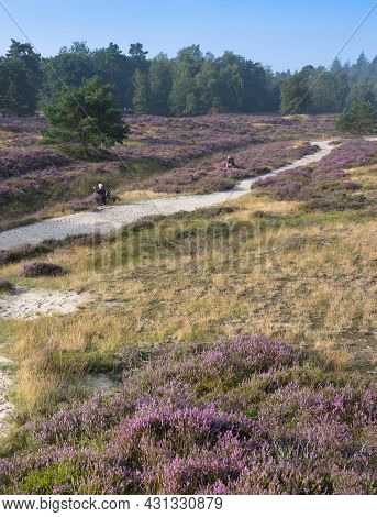 Photographers And Trees Under Blue Summer Sky And Colorful Purple Heather On Heath Near Zeist In The