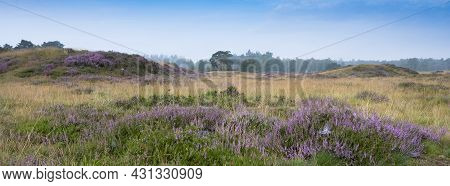 Pine Trees Under Blue Summer Sky And Colorful Purple Heather On Heath With Background Forest Near Ze