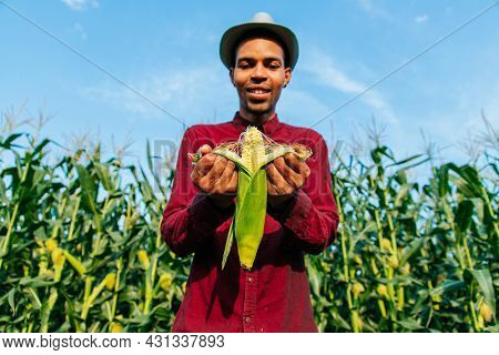 Happy Afro American Farmer Examining Ripe Corn On The Cob. Agronomist Standing In Corn Field Inspect