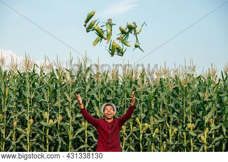 African American Farmer Throws Corn Cobs Up. Is In The Cornfield, Blue Sky. Man With Hat And Red Shi