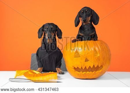Two Funny Dachshund Dogs Make Jack-o-lantern To Decorate An Apartment For A Halloween Party Using Kn
