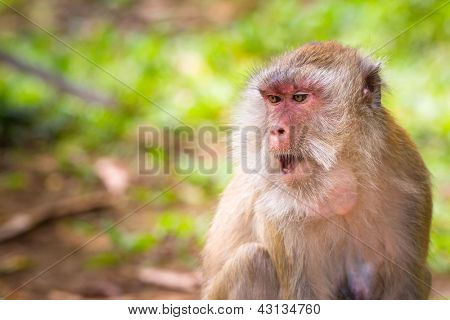 Macaque monkeys in wildlife, Thailand poster
