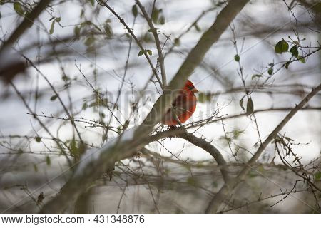 Male Northern Cardinal (cardinalis Cardinalis), With Its Crest Up, Looking Out From Its Perch In A T