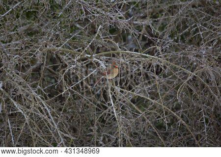 Female Cardinal (cardinalis Cardinalis) Perched On An Ice-covered Bush