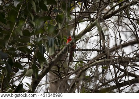 Male Northern Cardinal (cardinalis Cardinalis) Looking Around From Its Perch In A Tree