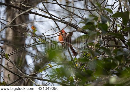 Male Northern Cardinal (cardinalis Cardinalis) Looking Out From Its Perch In A Tree