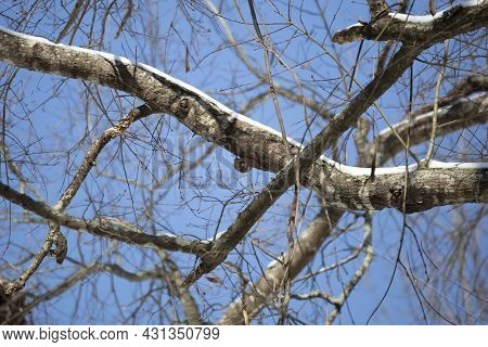 Flying Squirrel (glaucomys Volans) Hanging On The Bottom Of A Tree Limb