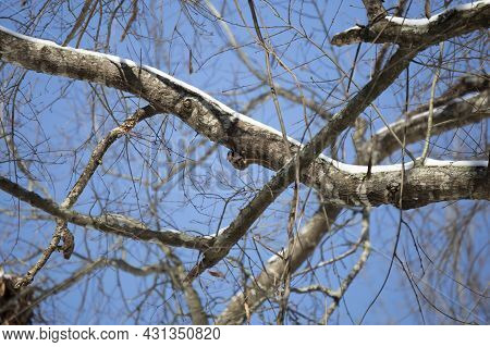 Flying Squirrel (glaucomys Volans) Hanging On The Bottom Of A Snow-covered Tree Limb