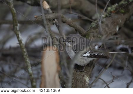 Northern Mockingbird (mimus Poslyglotto) On A Limb Above A Snow-covered Ground