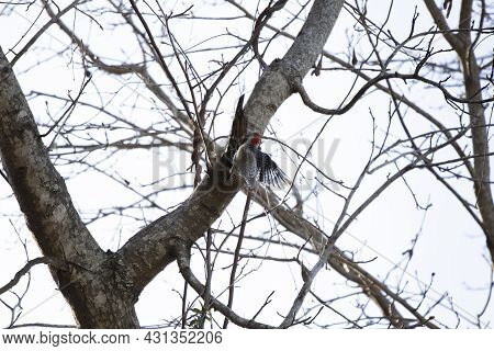 Red-bellied Woodpecker (melanerpes Carolinus) Landing On A Tree Limb To Forage On An Overcast Day