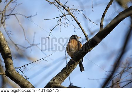 Majestic American Robin (turdus Migratorius) Looking To The Right