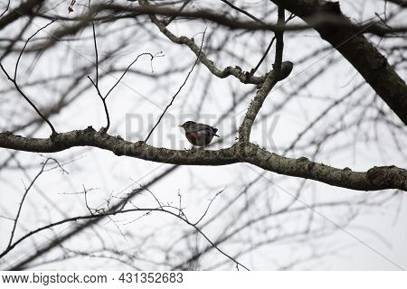 Majestic American Robin (turdus Migratorius) Looking Around From Its Perch On A Tree Branch