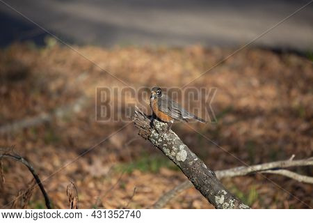 American Robin () Looking Around Curiously From Its Perch On A Fallen Tree Branch
