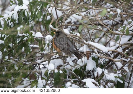 American Robin (turdus Migratorius) Looking Out Majestically As It Expands Its Feathers To Conserve