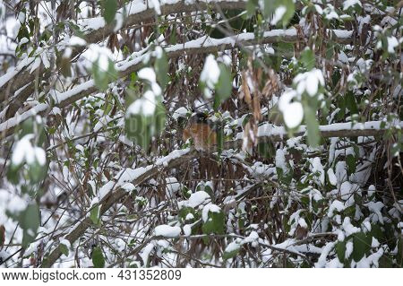 American Robin (turdus Migratorius) Looking Around Majestically As It Expands Its Feathers To Conser