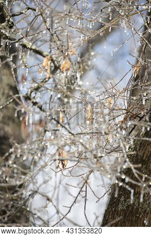 Ice Covering Tree Limbs On A Pretty, Blue Day