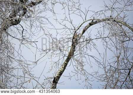 Ice Covering Tree Limbs Next To A Broken Branch On A Cold Day