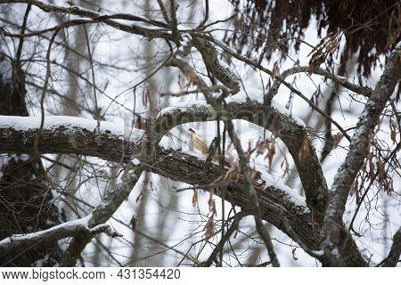 Winter Precipitation On Tree Limbs On A Cold Day