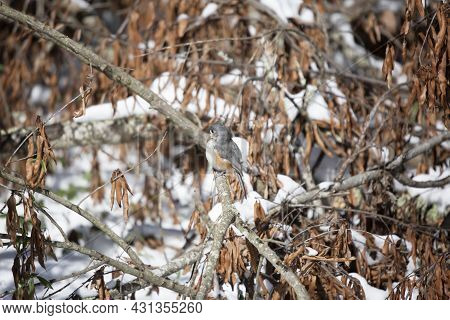 Tufted-titmouse (baeolophus Bicolor) Looking Around Majestically From Its Perch Near Dead Leaves Ove