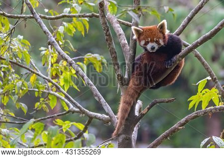 Photo Of A Red Panda A Rare Endangered Species Found In Eastern Himalayas And South Western China Sh