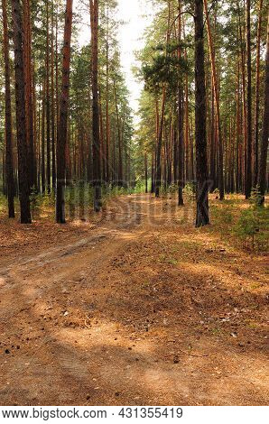 Field Road Going Through The Matins Pine Forest.