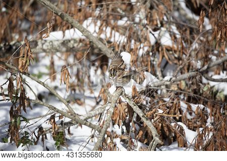 White-throated Sparrow (zonotrichia Albicollis) Preparing To Fly Away From Its Perch On A Fallen Tre