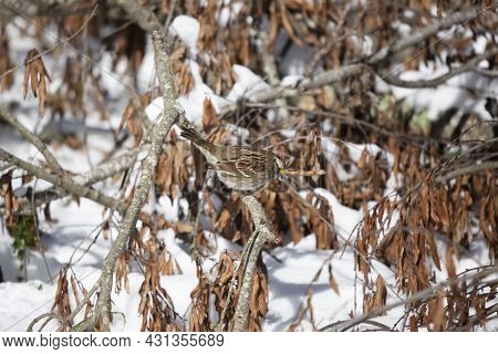 White-throated Sparrow (zonotrichia Albicollis) Looking Down From Its Perch On A Fallen Tree Limb On