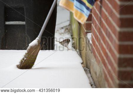 White-throated Sparrow (zonotrichia Albicollis) Landing On An Icy Porch