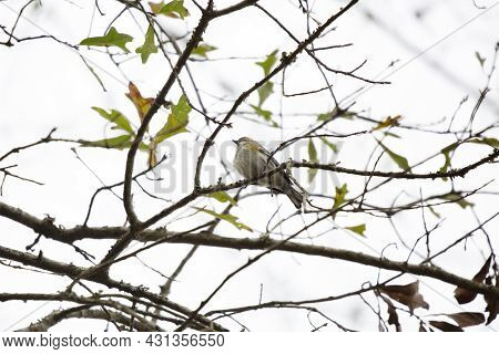 Female Yellow-rumped Warbler (setophaga Coronata) Perched Majestically On A Branch On A Windy Day