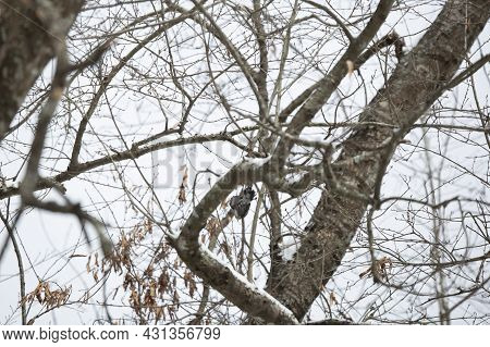 Yellow-rumped Warbler (setophaga Coronata) Diving From A Tree Limb Covered With Snow To Catch An Ins