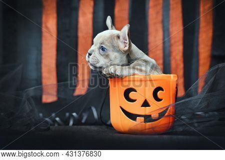 French Bulldog Dog Puppy Sitting In Spooky Halloween Trick Or Treat Basket In Front Of Black And Ora