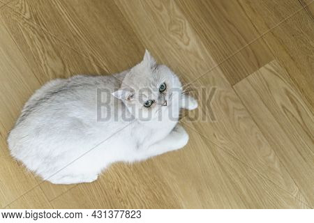 Cat On The Laminate Floor. Wooden Parquet Or Laminate Flooring In The Living Room With A Lying White