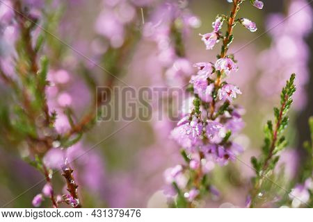 Purple Pink Common Heather (calluna Vulgaris). Landscape Plant Heather. Colorful Traditional October