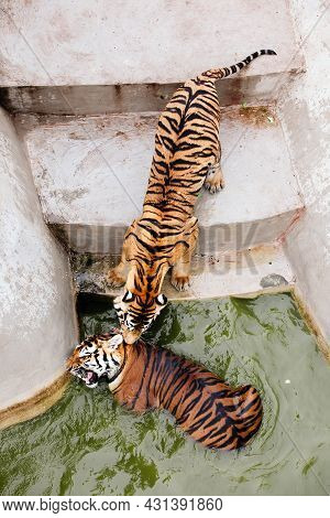 Amur Tiger Swimming In The Pool. Portrait Of A Swimming Siberian Tiger In The Safari Park.
