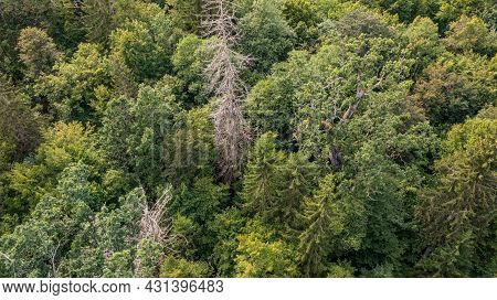 Diagonal View Of Coniferous Tree Stand With Dry Dead Spruce Tree Still Standing, Bialowieza Forest,