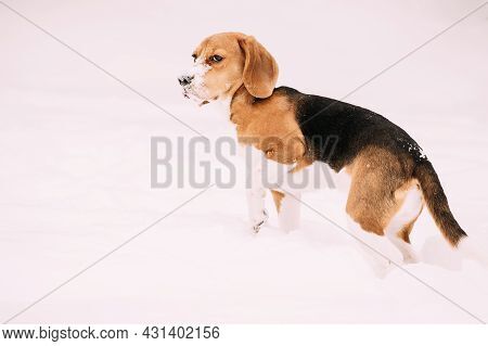 Sad Puppy Of English Beagle Sitting In Snow And Holding Up Frozen Paw At Winter Day. Beagle Is A Bre