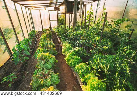 Close Up View Of Green Lettuce And Peppers Vegetables Growing In Greenhouse Or Hothouse At Sunset.