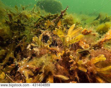 Closeup Of Fucus Vesiculosus, Common Names Bladderwrack, Black Tang, Rockweed, Bladder Fucus, Sea Oa