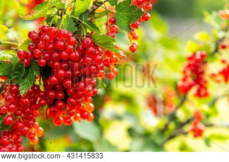 A Brush Of Red Currants On A Background Of Green Leaves. Mature Red Berries Are Hanging On A Branch.