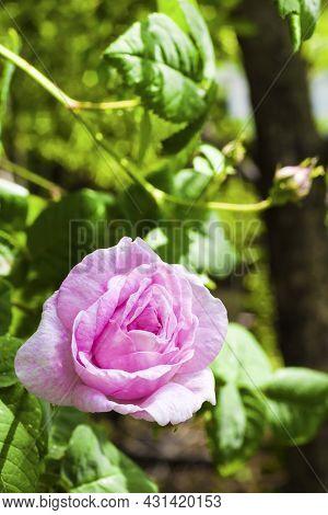 Rosa Centifolia (rose Des Peintres) Flower Closeup.