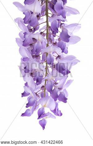 Wisteria Flowers Isolated On A White Background
