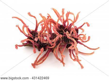 Hamamelis Red Flower Isolated On White Background