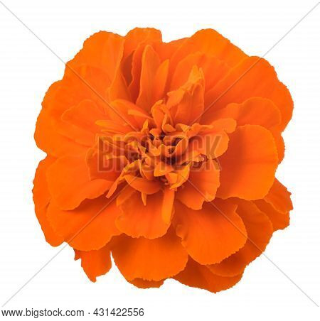 Tagete Flower Head  Isolated On White Background