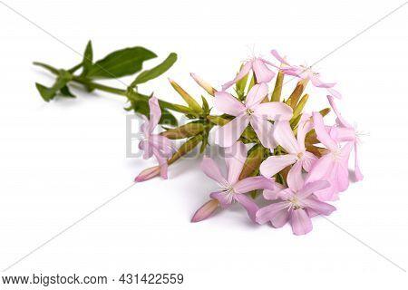 Soapwort ( Saponaria Officinalis) Isolated On White Background