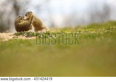 Spermophilus In Fight. Animal In Wild Nature. Suslik In Wild Nature.