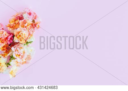 Pink And Yellow Flowers Of Snapdragon Or Antirrhinum Majus On A Pink Background. Place For Text. Fla