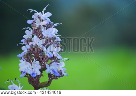 Blue Fountain Bush Flower Also Known As Blue-flowered Glory Tree Or The Beetle Killer. Its Scientifi